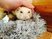 Ferret for rehoming, £50 lowest