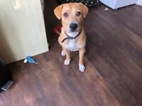 8 month old Beagle x Sharpei