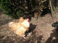 PAIR OF BUFF ORPINGTON CHICKENS