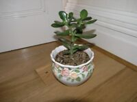 Jade / Money Plant In Decorative Circular Pot Weymouth