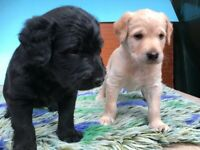 Labradoodle Pups For Sale