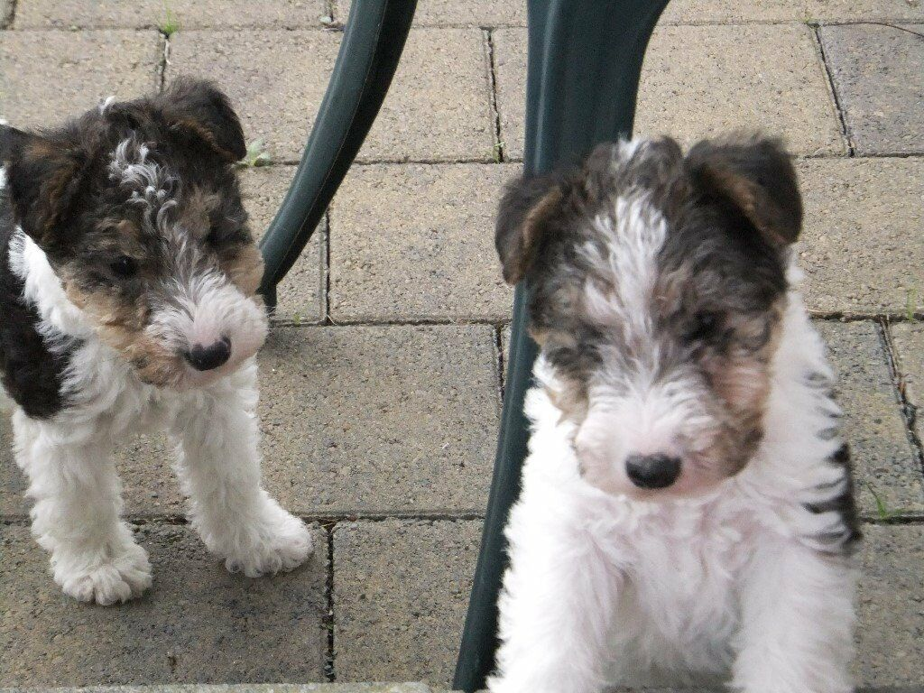 Puppies for sale. pups - wire haired fox terriers\ puppy dogs | in ...