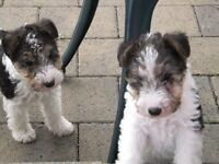 Puppies for sale. pups - wire haired fox terriers\ puppy dogs
