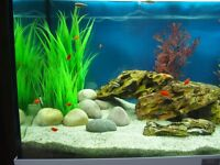 Young male platy's x 4 red/orange