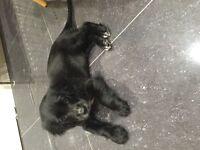Female Black Cocker Spaniel Puppy