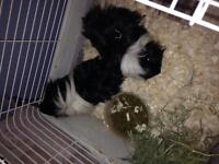 2 long haired guinea pigs and accessories