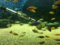 Mixed Malawi juvenile tropical fish