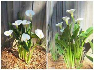 Small Calla Lily Plant 馬蹄蓮 / 馬蹄蘭 / 海芋 Eastwood Ryde Area Preview