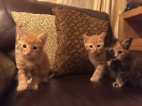 Cute kittens 2 ginger boys 1 girl for sale
