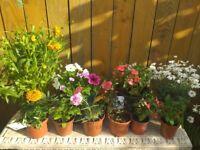 Beautiful bedding plants/ flowers bundle