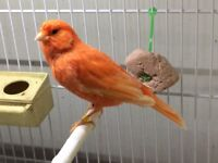 Red Factor Canary for sale
