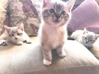 3 Beautiful White/Grey/Tan Kittens For Sale