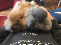 Pair of Beautiful Female Lion Head Rabbits / Bunnies