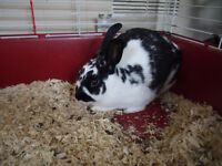 7 months old male rabbit free to good home
