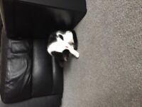 Black and White Cute Baby Kitten