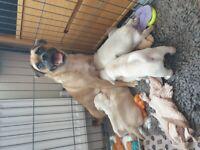 Beautiful Jug Puppies all sold