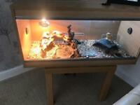 Bearded dragon and living area