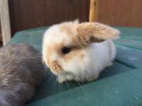 Baby male mini lop rabbits
