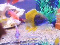 * WOW * STUNNING MALAWI CICHLID'S * HAP's, PEACOCKS, MBUNA, TROPICAL FISH FOR SALE* COME HAVE A LOOK