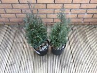 Blue Conifer x2 2 years old and healthy (well taken cared of)