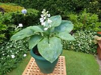 "MATURE POTTED HOSTA PLANT ""BIG DADDY"""