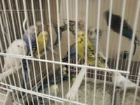Budgies for sale. Friendlyand healthy birds.