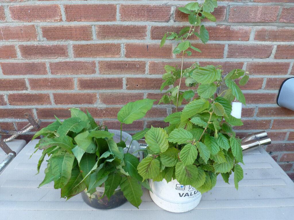 Cob Hazel Nut Saplings And Persicaria Persifolia In