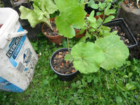 Plant for sale-A young hollyhock plant in a 10 cm pot