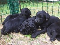 Beautiful F2 Labradoodle puppies Ready now!