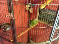 FEMALE AMAZON GREEN PARROT AND CAGE FOR SALE