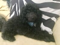 KC registered Blue Toy Poodle Male Puppy Ready Now