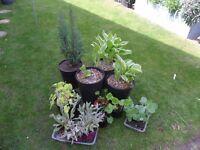 12 plants for sale