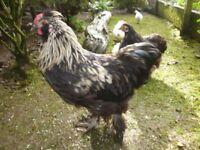 young bantam cockerel needs a new home