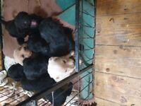 goldendoodles puppies