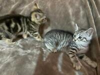 Bengal cross kittens 1 male 1 female