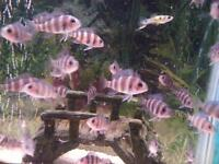 Frontosa fish fries for sale