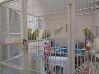 Young Budgies, 3 months old for sale