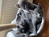 Russian Blue x english Blue Kittens