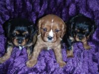 KC registered cavalier King Charles spaniel