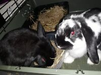 2 3month lops vacced chipped spayed dbl hutch toys hay food 2months atleast of everything you need