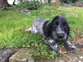 Blue roan cocker spaniel boy looking for his forever home
