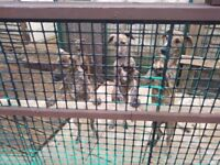 Two lurcher pups left