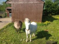 Mini Ponies for sale