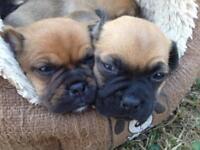 Jug puppies Jack Russell X Pug