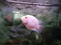 2 x parrot fish