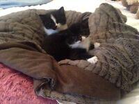 Lovely black and white kittens for sale