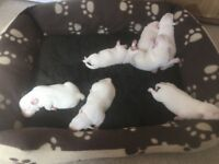 Pure white puppies