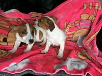 Pedegree jack Russell puppies for sale