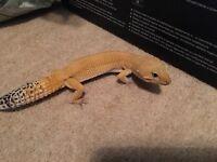 Male leopard gecko