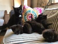 Beautiful black fluffy kittens